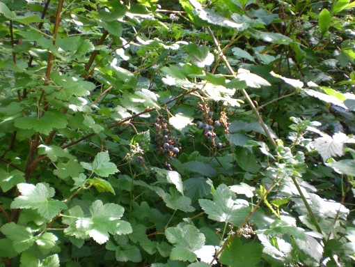 blackcurrants1.jpg